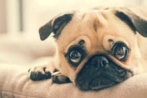 Zadośćuczynienie za utratę psa